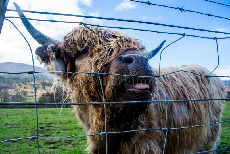 Um fim acima de uma vaca marrom das montanhas, com sua língua que pica para fora fotos de stock