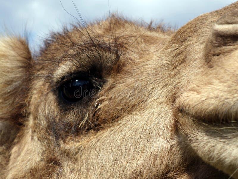 Um fim acima do olho de um camelo imagens de stock