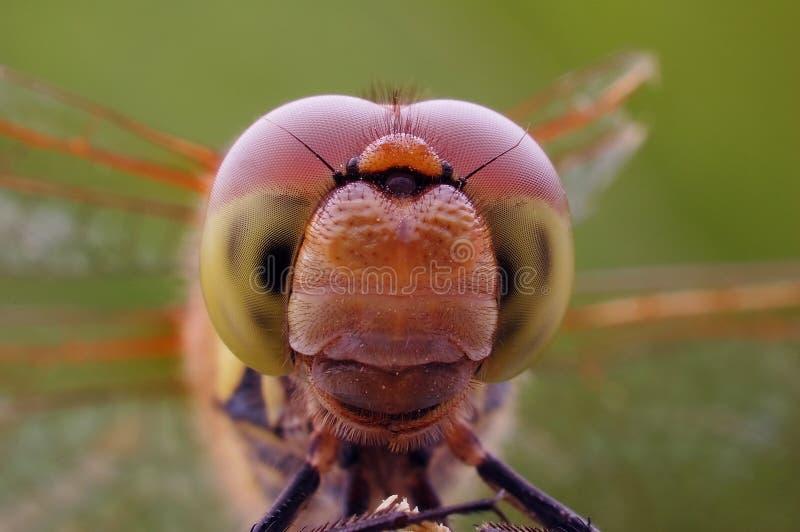Fim-acima dos olhos compostos da libélula imagens de stock