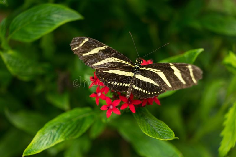 Um fim branco preto e amarelo da borboleta do charitonius de Longwing Heliconian Heliconius da zebra acima em uma flor vermelha c imagem de stock royalty free