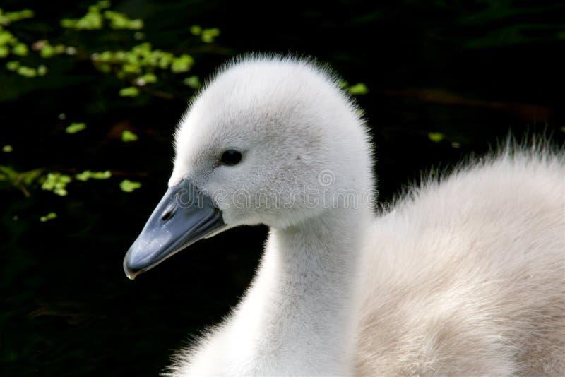 Um fim do cisne novo da cisne muda acima fotos de stock