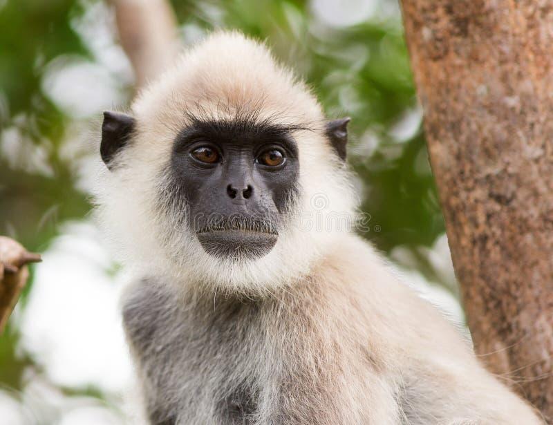 Um fim enfrentado cinzento do macaco do Langur acima imagens de stock