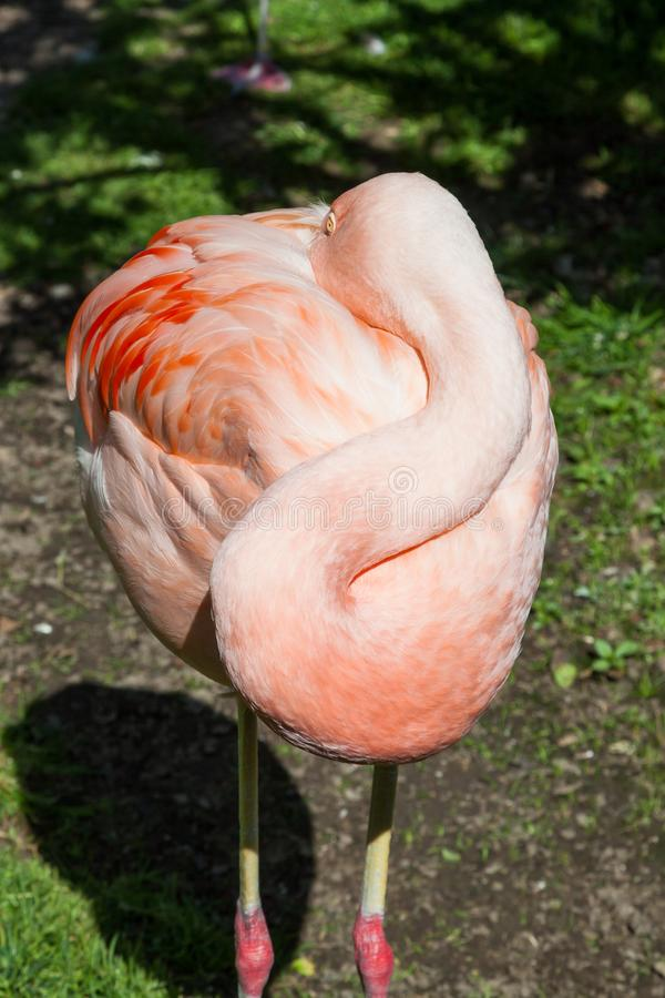 Um flamingo de descanso fotos de stock