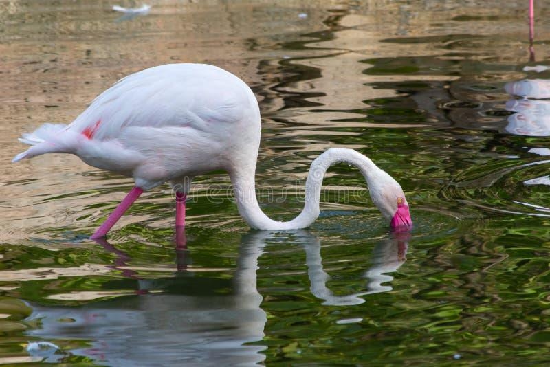 Um flamingo procura pelo alimento no por do sol em Al Ain, roseus de Emiratos Árabes Unidos UAE Phoenicopterus foto de stock royalty free