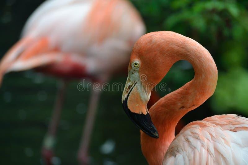 Um flamingo tímido imagens de stock royalty free