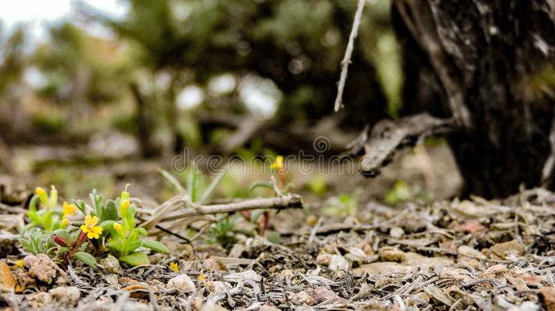 Um foco afiado nas primeiras flores a brotar na mola foto de stock royalty free