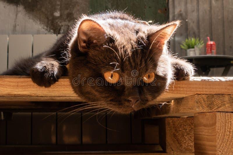 Um foco do gato preto em uma bola imagens de stock