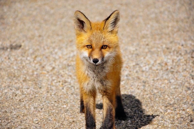 Um Fox vermelho novo olha fixamente perto do lago Dease, BC, Canadá fotografia de stock royalty free