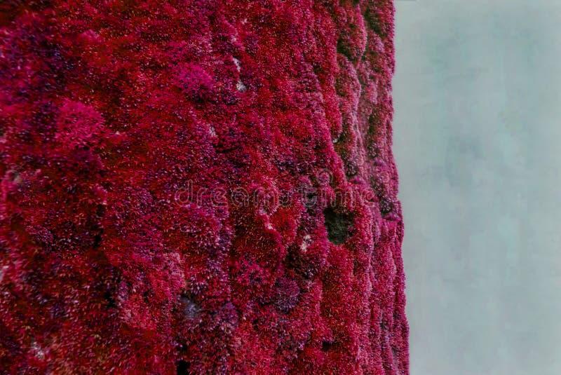 Um fragmento da casca de árvore coberto completamente com o musgo, que é repintado no vermelho Copie o espa?o na direita foto de stock royalty free
