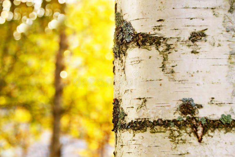 Um fragmento do tronco de um vidoeiro no fundo do outono fotos de stock royalty free