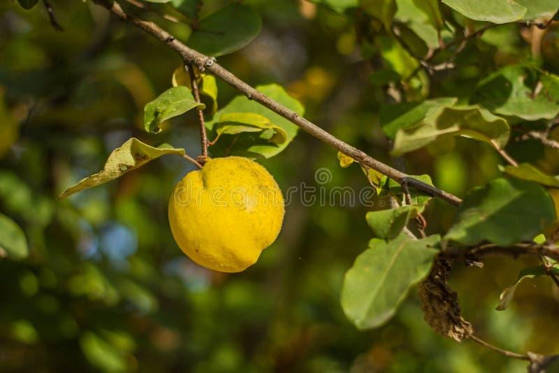 Um fruto amarelo brilhante suculento do marmelo pendura em uma árvore entre as folhas verdes no outono fotos de stock royalty free