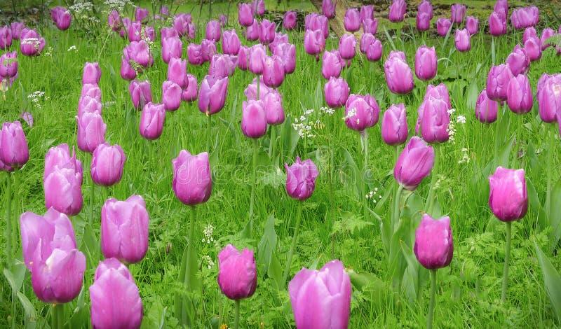 Um fundo de tulipas cor-de-rosa e da grama verde fotos de stock royalty free