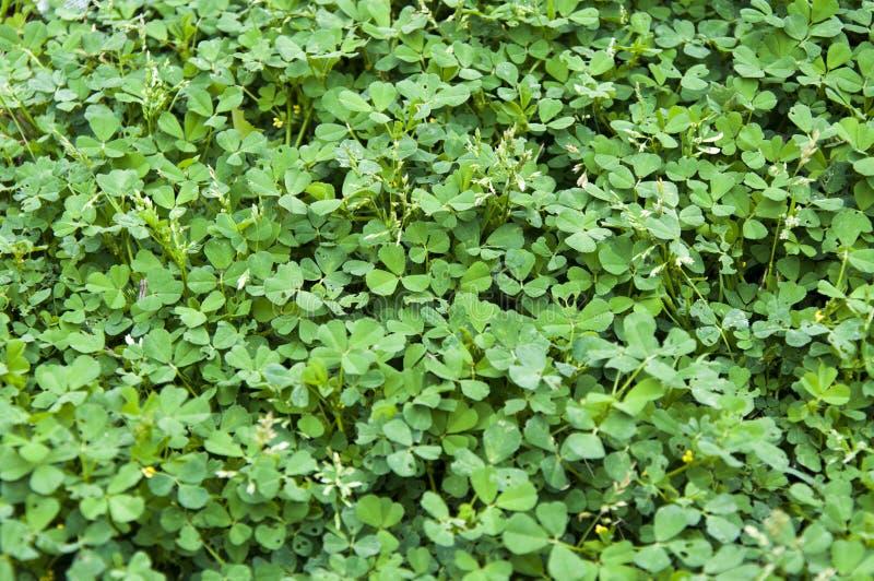 Um fundo e uma textura verdes luxúrias fotos de stock royalty free
