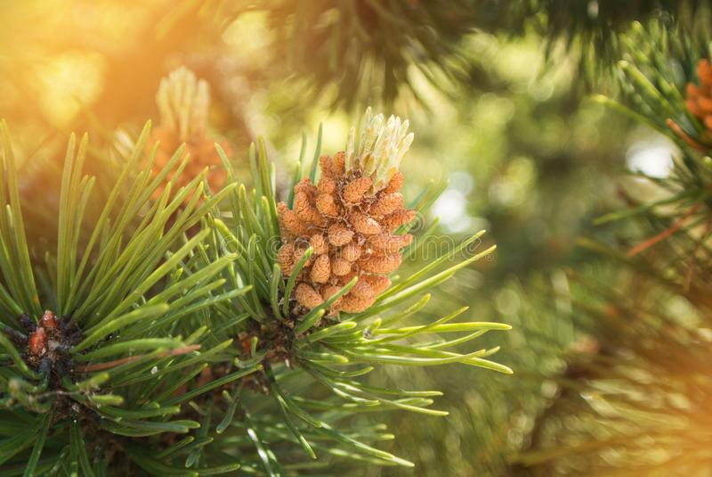 Um fundo natural verde com ideia do close-up de um ramo do pino fotos de stock royalty free