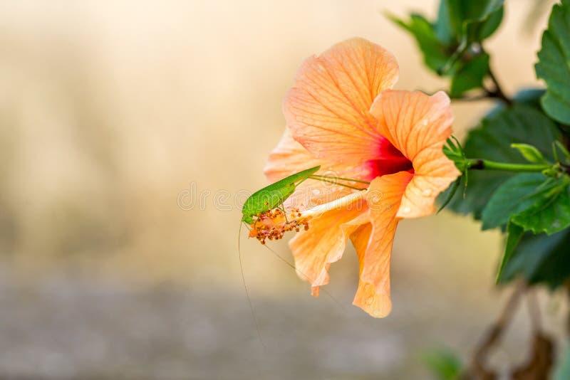 Um gafanhoto verde do grig senta-se em uma flor amarela alaranjada do hibiscus Macro foto de stock