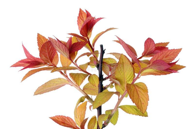 Um galho com as folhas vermelhas e amarelas novas do arbusto da floresta da mola imagens de stock royalty free