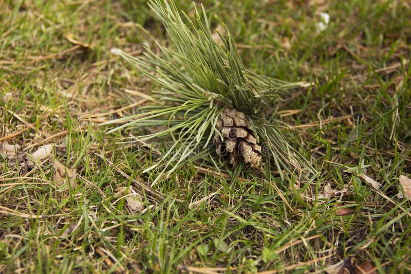 Um galho com um cone caiu de uma árvore na grama verde foto de stock