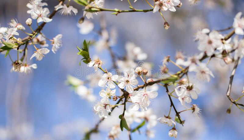 Um galho com flores brancas de ameixa fechada em abril foto de stock