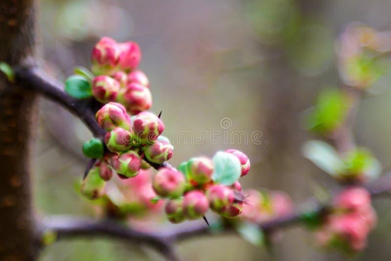 Um galho da maçã ou da ameixa que florescem belamente na mola ou no verão foto de stock