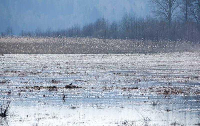 Um galispo do norte que se sente em seu ninho em uma lagoa fotografia de stock royalty free