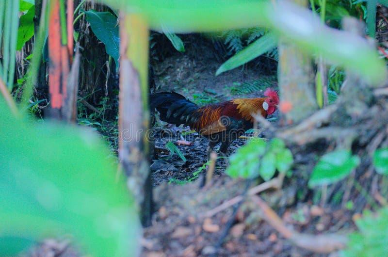 Um galo que encontra uma galinha fotografia de stock royalty free