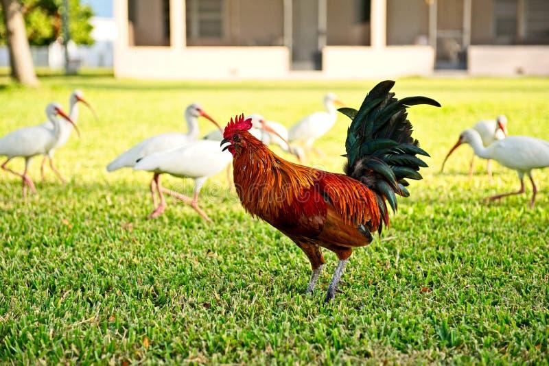 Um galo vermelho colorido anda na grama entre um rebanho dos pássaros americanos brancos dos íbis fotos de stock