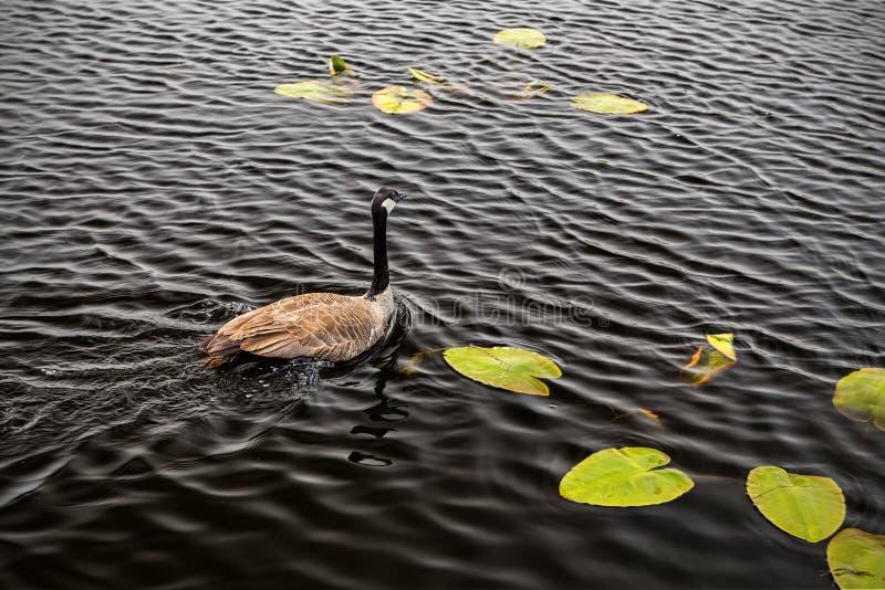 Um ganso de Canadá nada em águas escuras imagens de stock royalty free