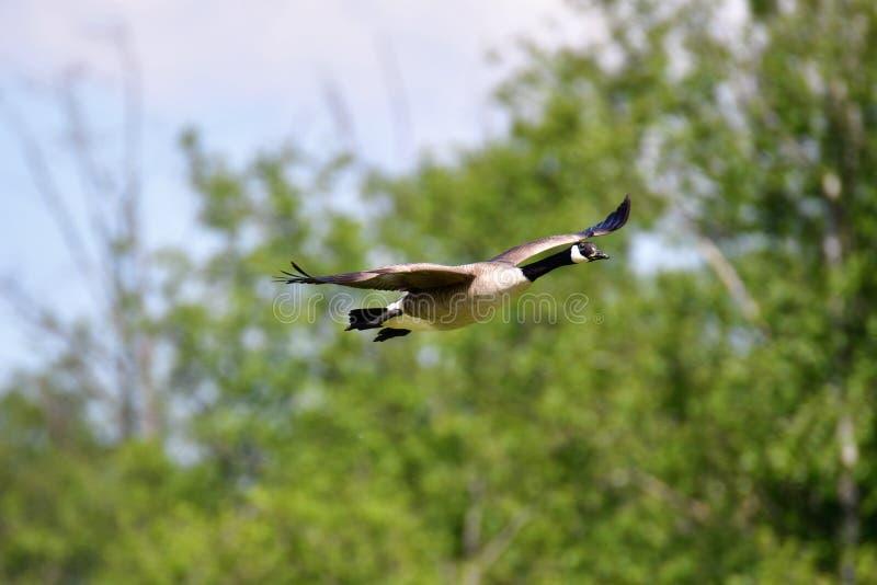Um ganso de Canad? est? voando no ar imagem de stock