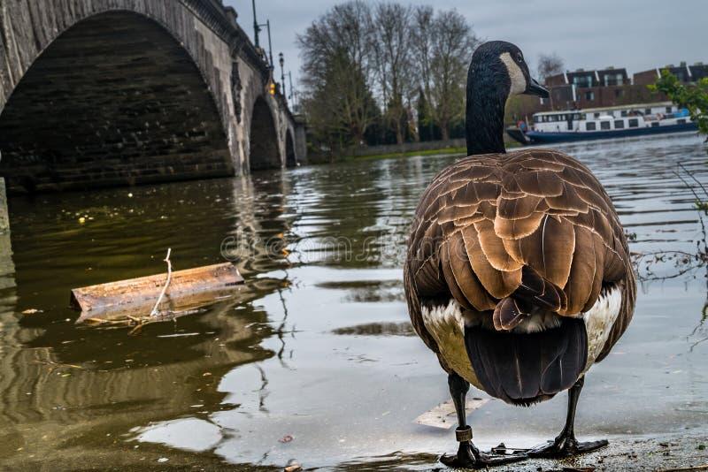 Um ganso de Canad? o trajeto do rio Tamisa fotografia de stock royalty free