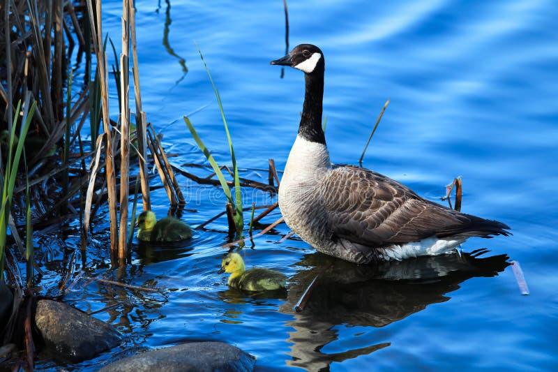 Um ganso de mãe olha seus ganso enquanto exploram pela costa fotos de stock
