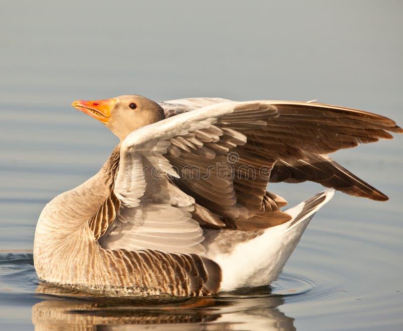 Um ganso de pato bravo europeu no sol da noite foto de stock
