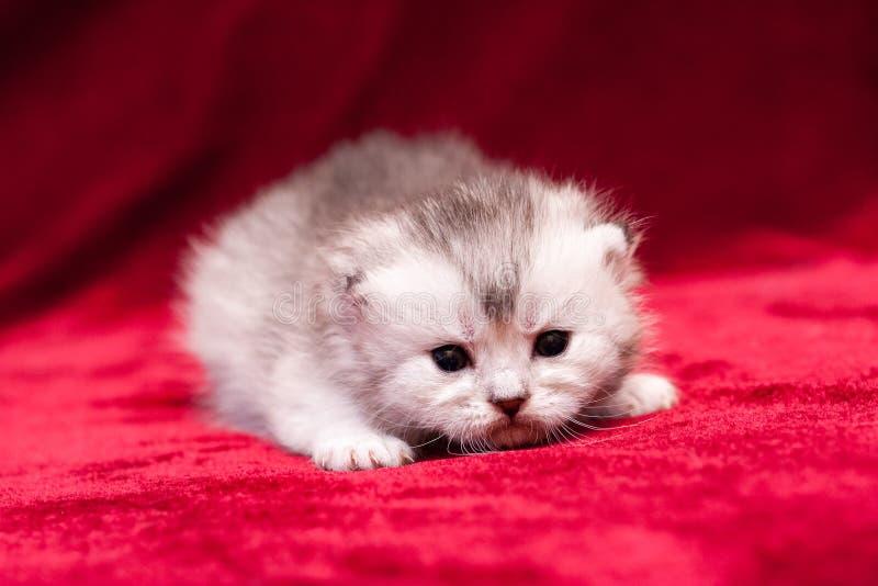 Um gatinho com suíças cinzento-branco macio pequeno fotos de stock royalty free