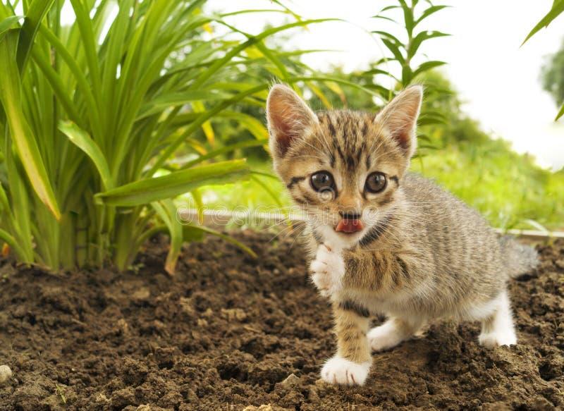 Um gatinho listrado pequeno na grama tropics fotografia de stock royalty free