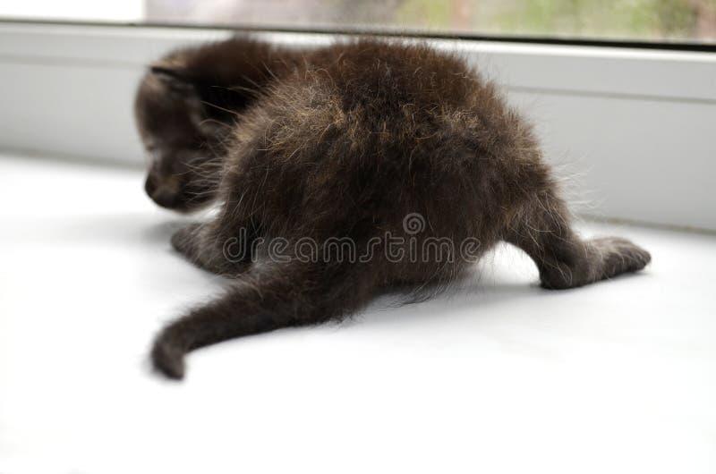 Um gatinho macio pequeno rec?m-nascido do chocolate senta-se em um peitoril branco da janela com seus primeiros animais de estima foto de stock royalty free
