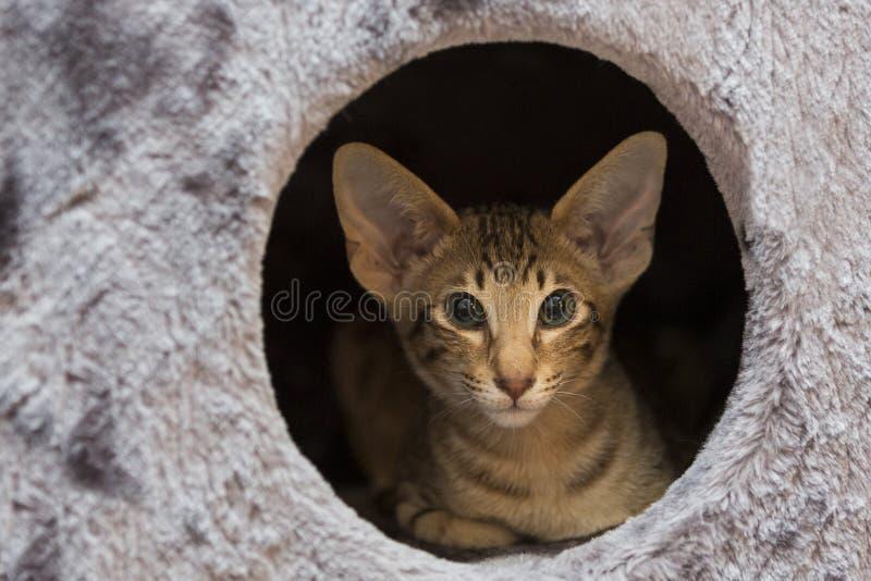 Um gatinho oriental do cabelo curto é dentro de uma torre do gato imagem de stock