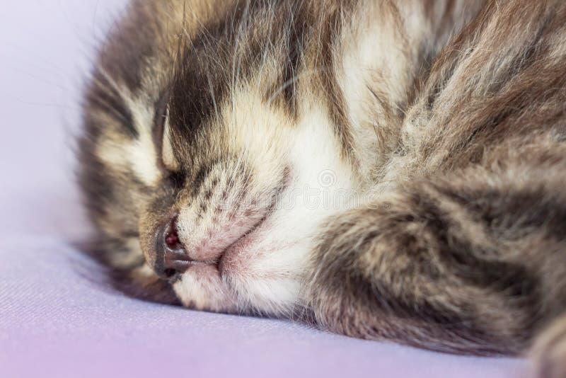 Um gatinho pequeno dorme e vê sonhos doces Infância despreocupada fotografia de stock