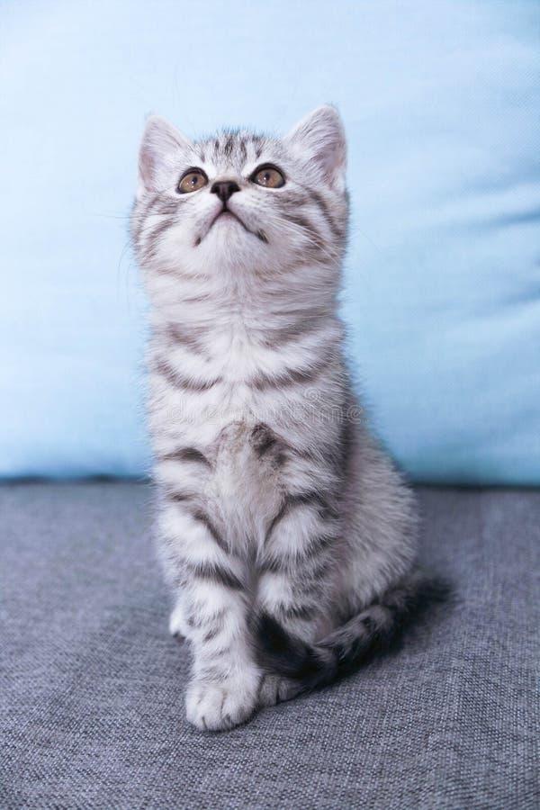 Um gatinho senta-se olhando acima Gray Kitty listrado foto de stock
