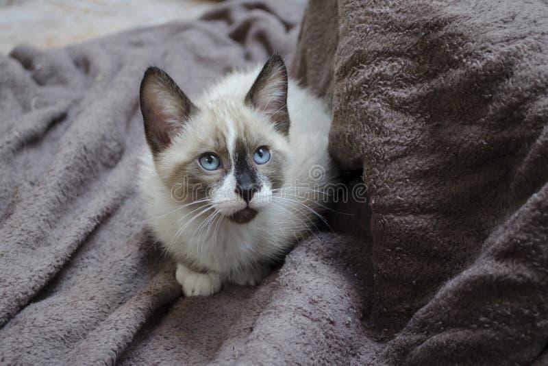 Um gatinho siamese da mistura agacha-se em toalhas marrons imagem de stock