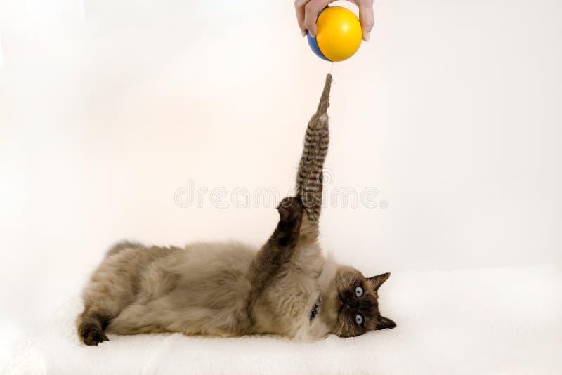 Um gatinho siamese joga com um amarelo e um brinquedo azul da bola em um fundo branco foto de stock royalty free