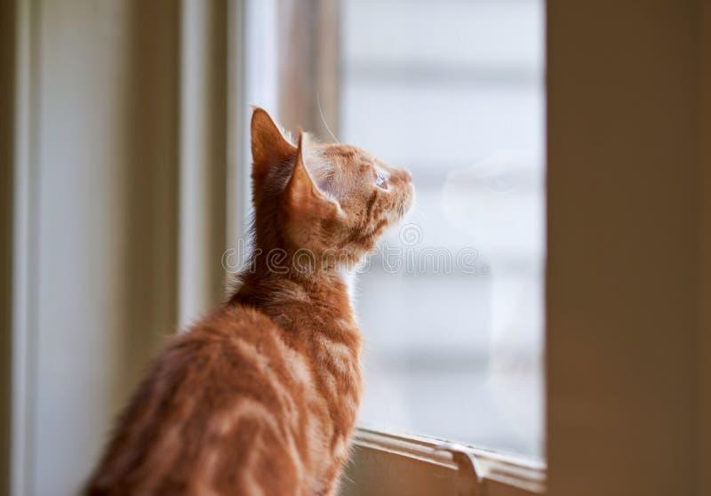 Um gatinho vermelho do gato malhado do gengibre pequeno beuatiful que olha através de uma janela fotografia de stock royalty free