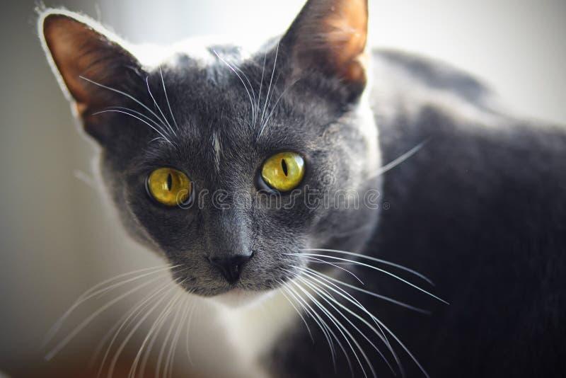 Um gato bonito da casa da cor cinzenta com um ponto branco na testa imagem de stock royalty free