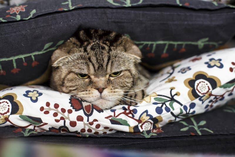 Um gato bonito mas olhando de sobrancelhas franzidas da dobra do Scottish com uma aposta severo das mentiras do olhar fotos de stock royalty free