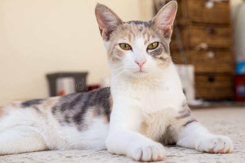 Um gato bonito que olha fixamente na objetiva imagem de stock royalty free
