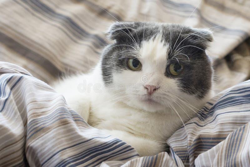 Um gato cansado encontra-se na cama imagens de stock royalty free