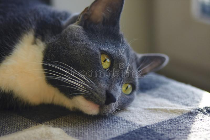 Um gato cinzento bonito com mentiras amarelas dos olhos fotos de stock royalty free