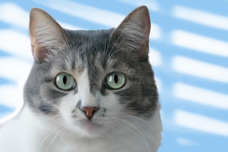 Um gato cinzento-branco com olhos grandes de um claro - olhares da cor verde na câmera Retrato de um close-up do animal de estima fotos de stock royalty free