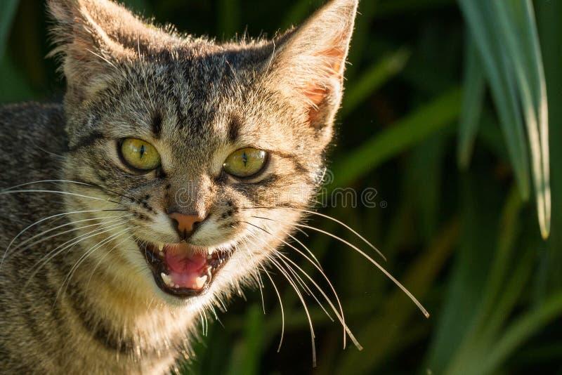 Um gato cinzento miando está estando na frente de um arbusto verde fotos de stock