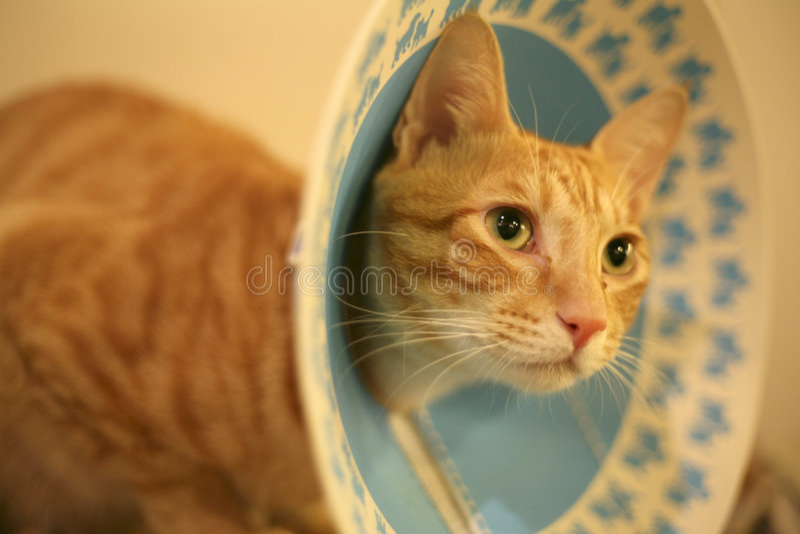 Um gato com um colar do cone fotografia de stock royalty free