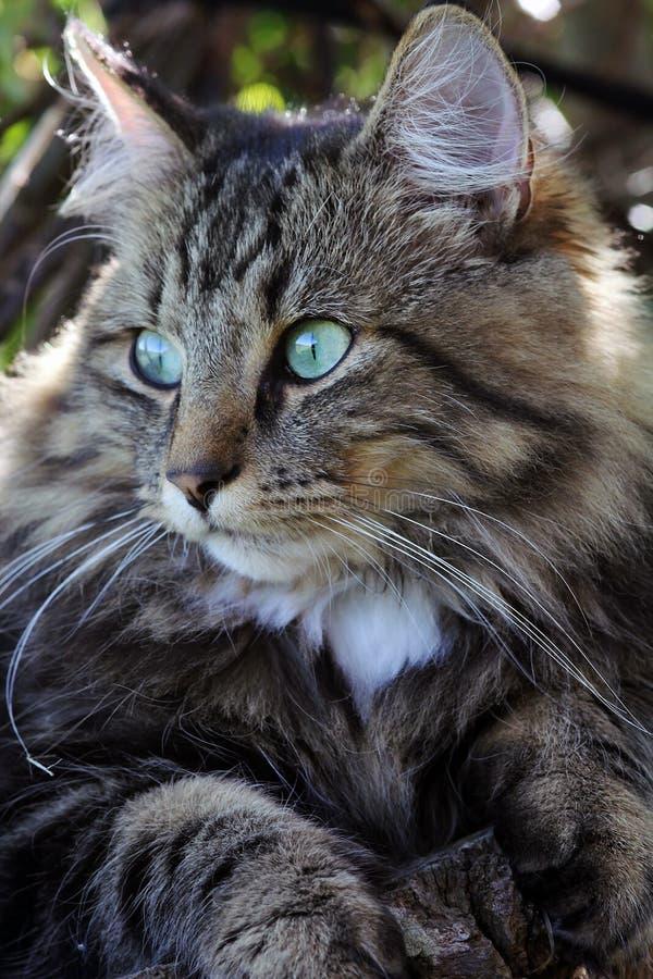 Um gato consideravelmente norueguês da floresta imagem de stock