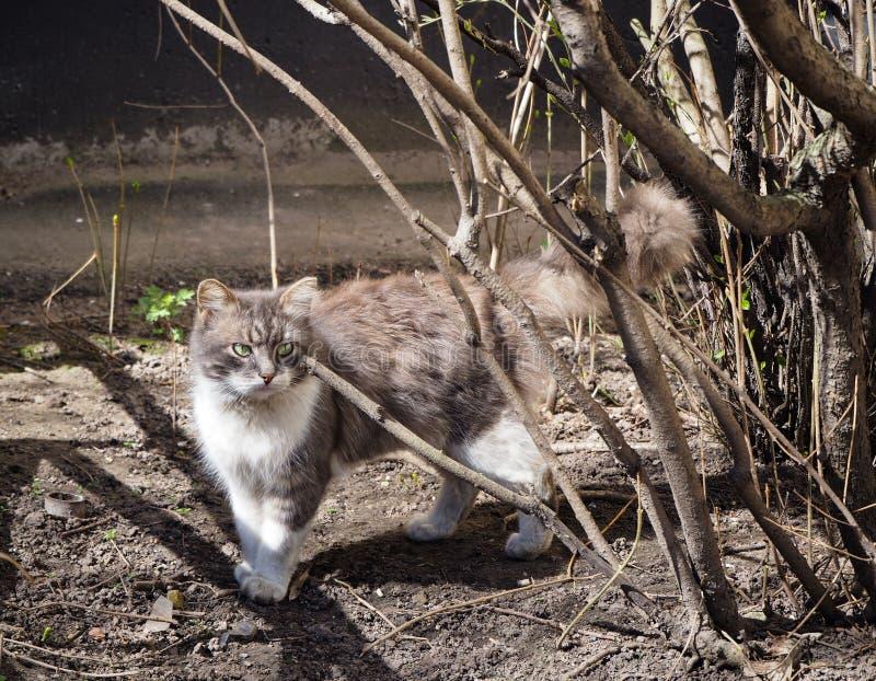 Um gato da rua está andando atrás do ramo de árvore no sol imagem de stock